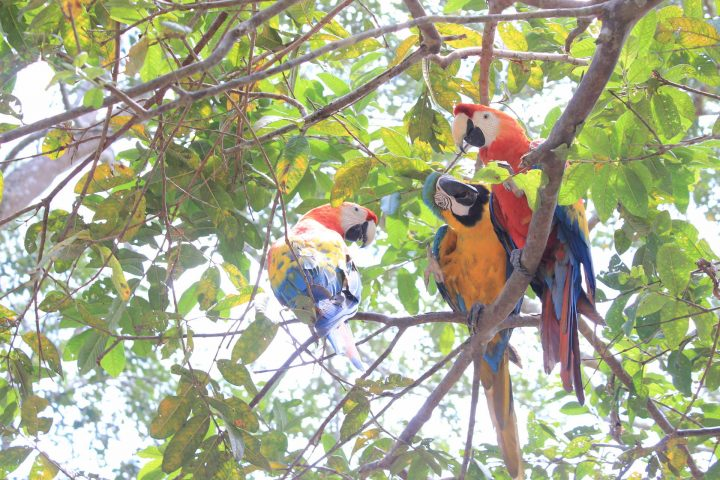 Some Macaws in the Amazon jungle