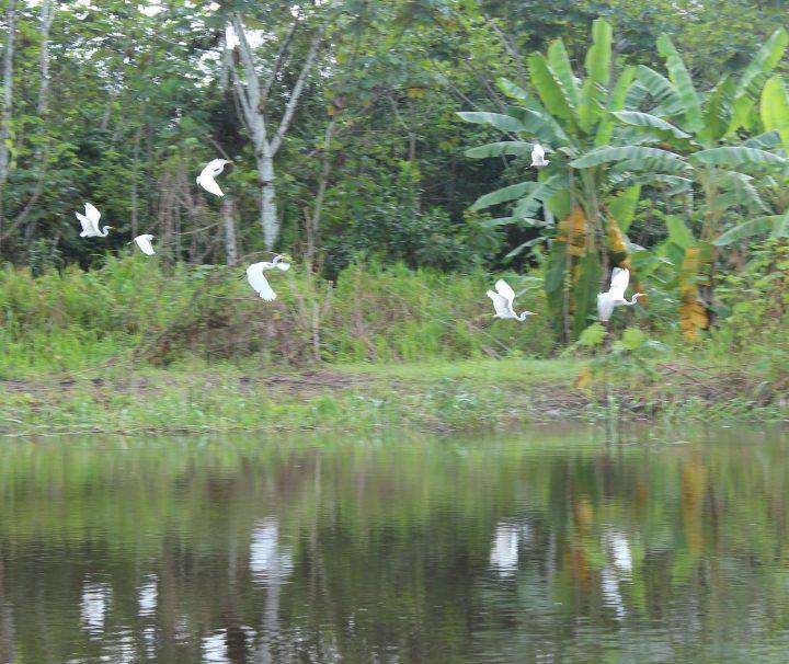 Pacaya Samiria National Reserve Tours Herons