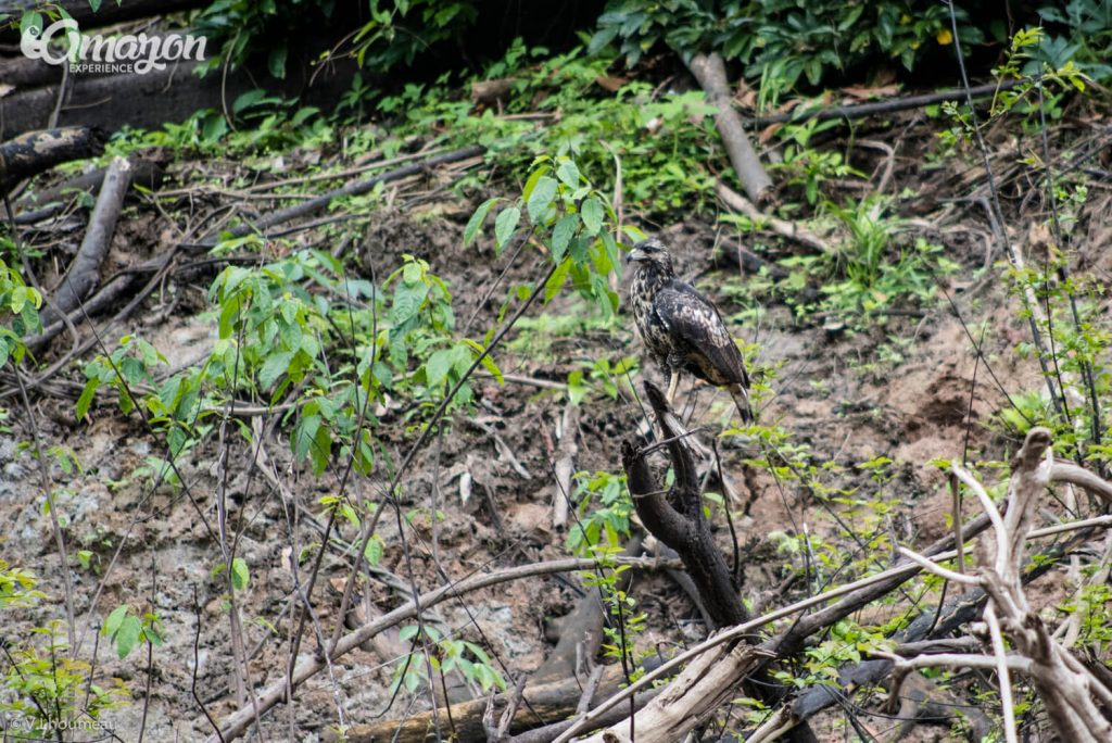 Birds of the Amazon rainforest, Birding and bird watching in Iquitos, Peru