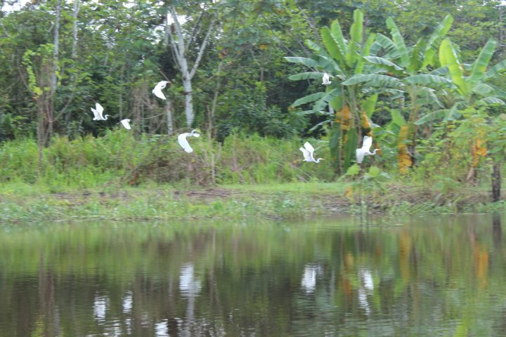 Amazon rainforest herons