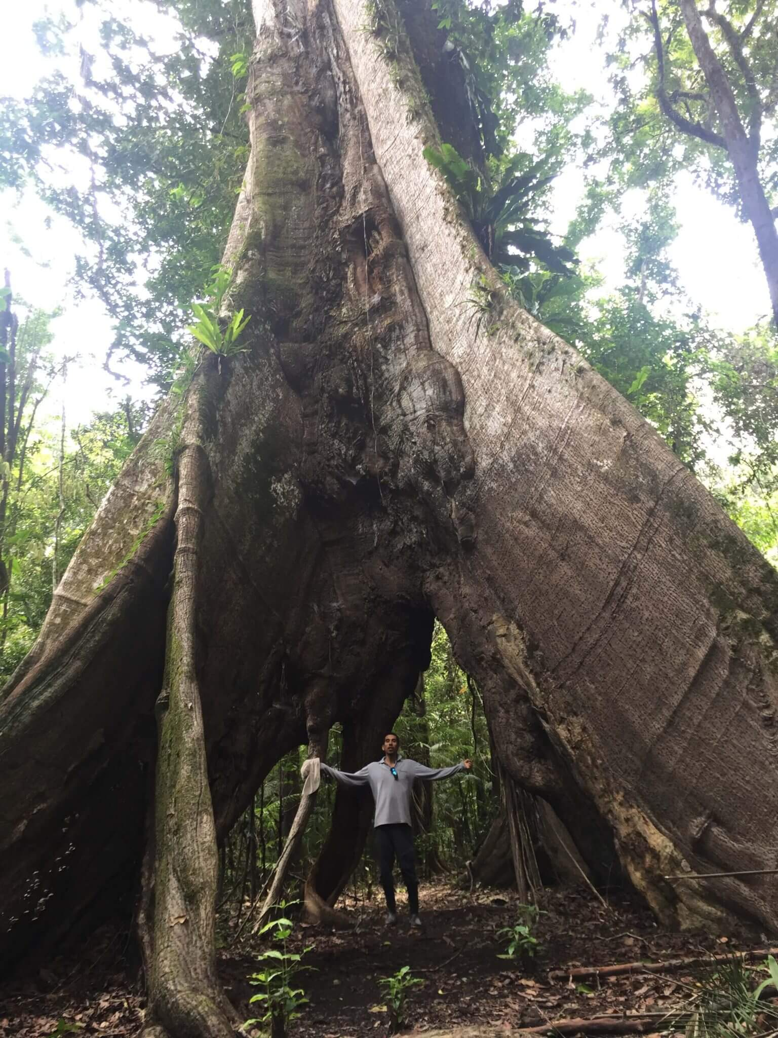 Big tree inside the Pacaya Samiria National Reserve