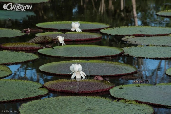 Water lilies in the Amazon jungle. Victoria regia or Victoria amazonica.