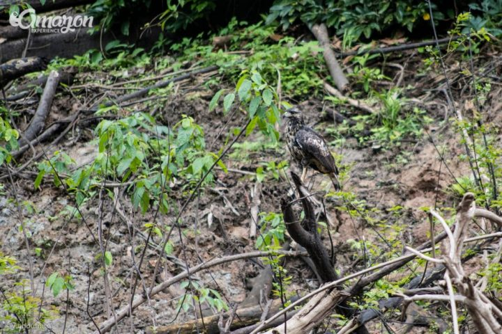A hawk spotted in the Pacaya Samiria National reserve