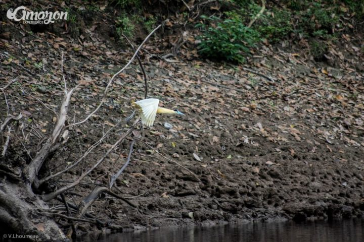 In the Amazon jungle you can see many different kinds of herons. A capped heron flying in the Pacaya Samiria reserve.