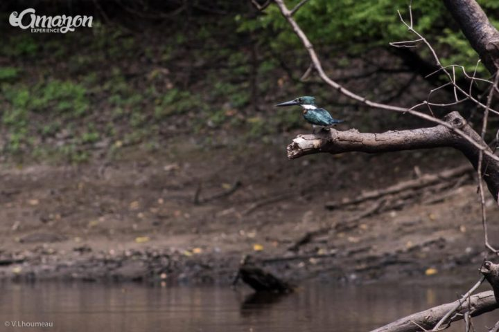 The Amazon Kingfisher getting ready to catch some fish