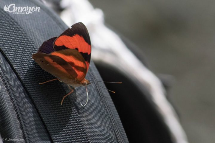 A butterfly in the Amazon river