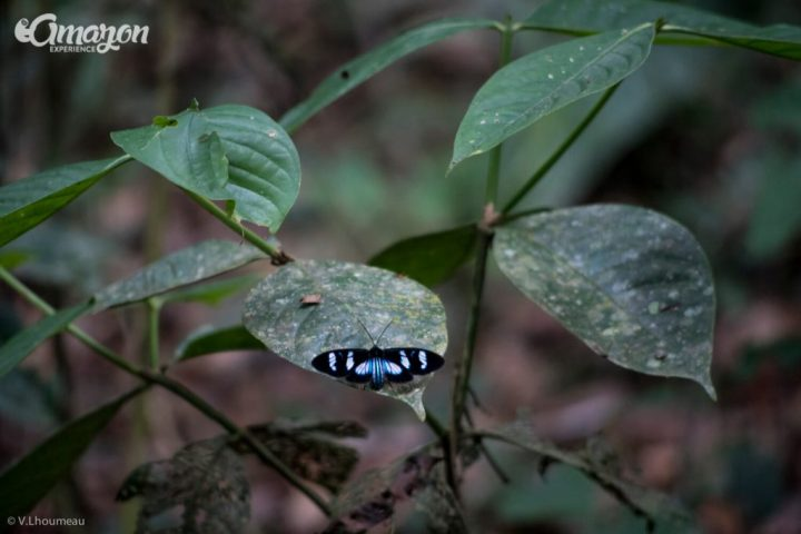 In the Amazon jungle you can find many different kinds of butterflies