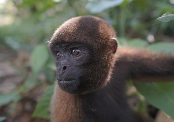 Monkey island, Iquitos, Peru