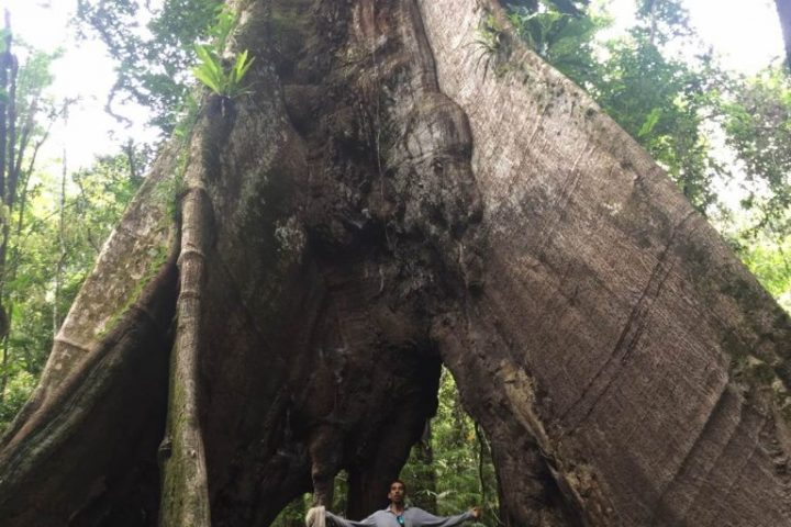 Person compared to the size of a big tree in the Amazon Jungle