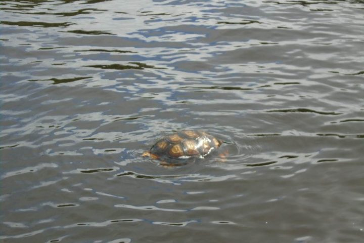 A turtle swimming in the river